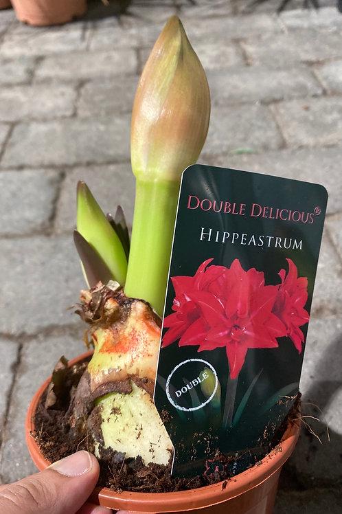Hippeastrum hybrid 'Double Delicious', 14 cm potte