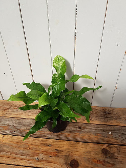 Microsorum musifolium 'Crocodyllus', 11 cm potte