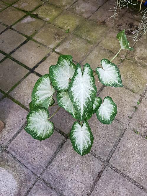 Caladium bicolor hybrid hvit, 12 cm potte