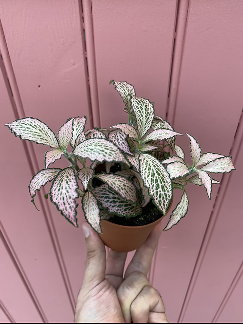 Fittonia 'Pink Forest Flame', 10 cm potte
