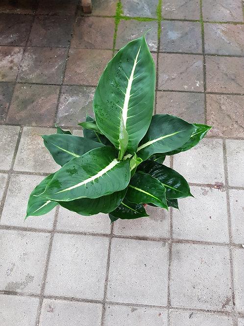 Dieffenbachia maculata, 17 cm potte