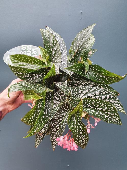 Begonia 'Hotspot', 14 cm potte