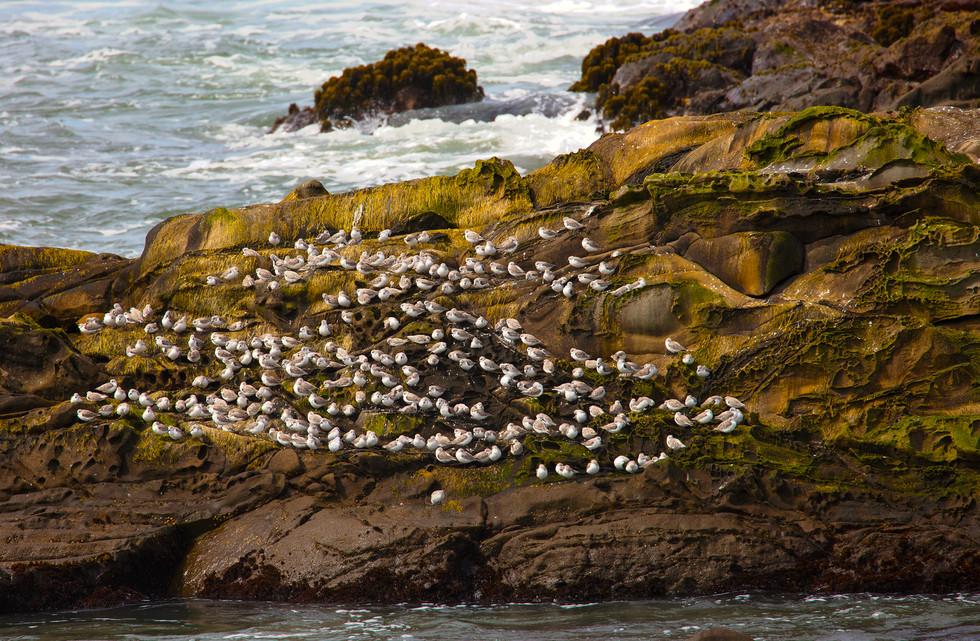 Birds on rock Pescadero