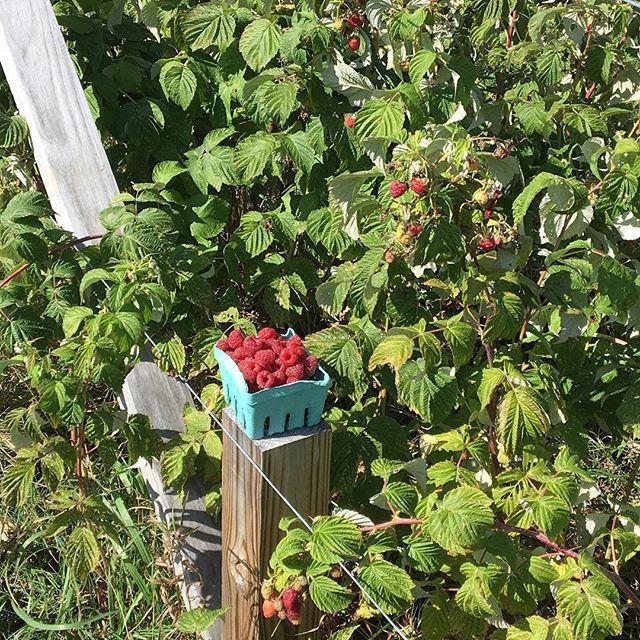 U pick fall raspberries are in and ready