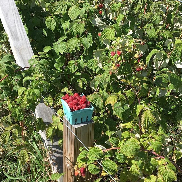U pick fall raspberries are in and ready