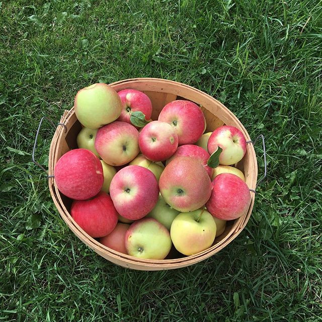 Apples are ready to be picked here at Ga