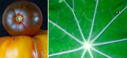 WIX+Leaf+tomato.jpg