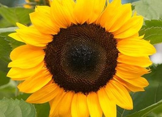 Anawan Farm U-Pick 12 Sunflowers