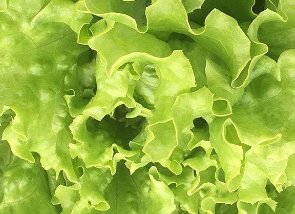 Muir Green Leaf Lettuce
