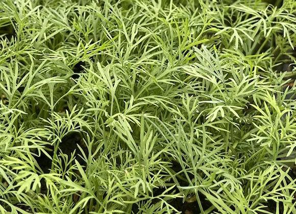 Dill Plant Sale