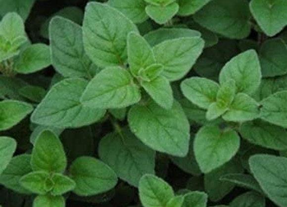 Oregano Italian Plant Sale