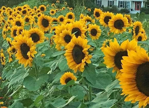 Anawan Farm U-Pick 10 Sunflowers