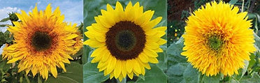 Sunflowers_edited.jpg