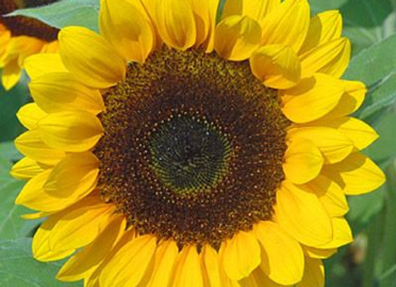 """Anawan Farm Sunflower """"Susies"""""""