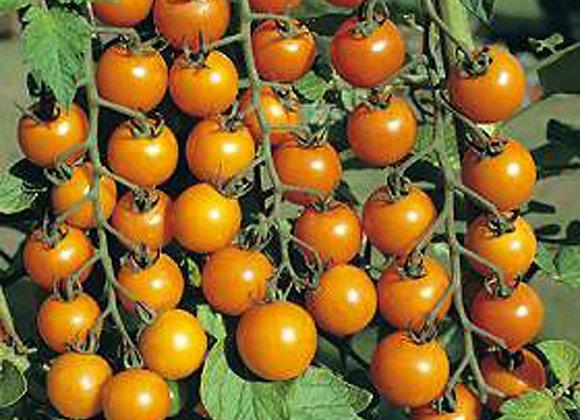 Tomato SunGold 100 Cherry Plant Sale