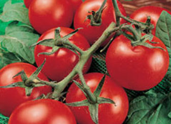 Tomato Money Maker Plant Sale