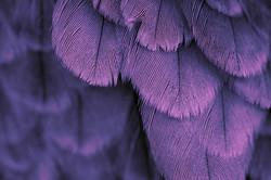 Douceur de plumes