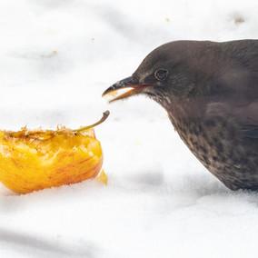 Merelvrouw appelsnoepend in de sneeuw