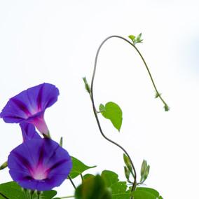 Klimmende winde tuin