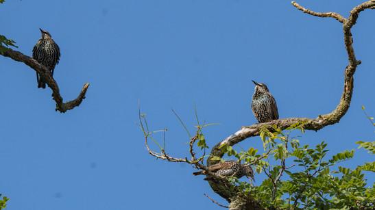 Spreeuwen acacia