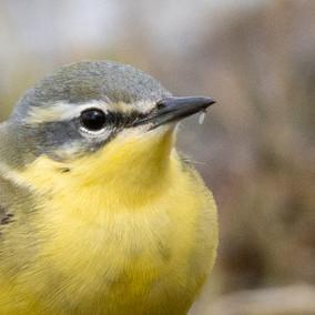 Grote gele kwikstaart close up