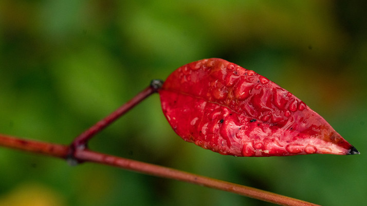 Herfstblad dauw nerf  3 23 okt 2020 (1 v