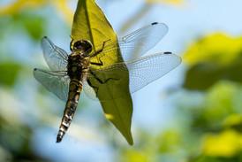 Gewone oeverlibel op een blauwe regenblad.