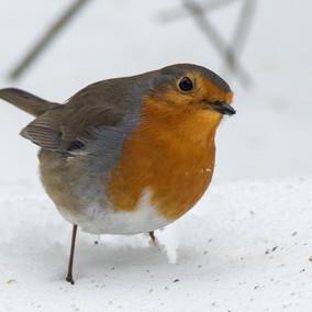 Roodborst in de sneeuw in de tuin