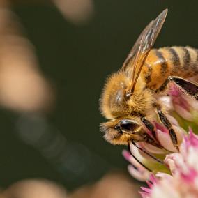 Honingbij hemelsleutel
