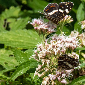 Distelvlinder zomervorm Oostvaardersplas