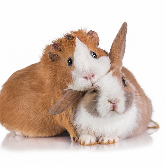 Guinea Pig and Bunny