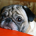 pug with sad eyes sitting at the table.j