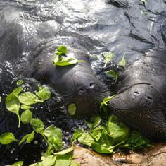 Sea World Manatees, Florida