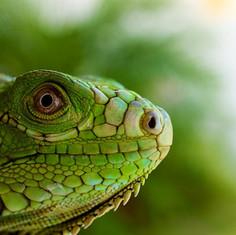 Green Igauna in Sint Maarten