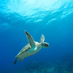 Sint Maarten Sea Turtle