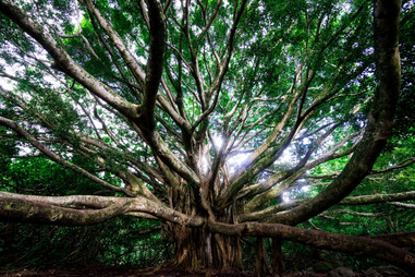 African Bayan Tree in Hawaii