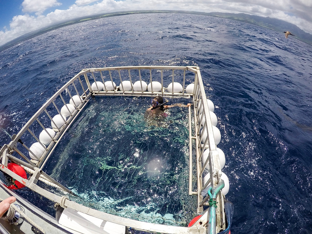 Shark Cage Diving in Hawaii