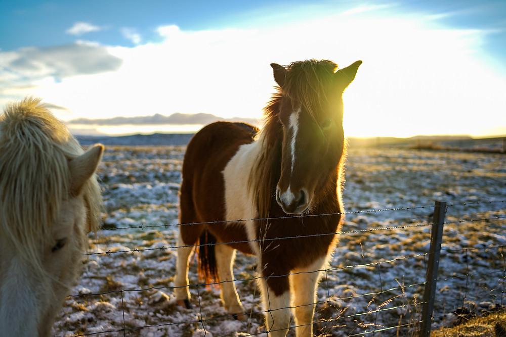 Iceland's Golden Circle - Icelandic Horse
