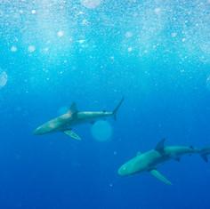 Sharks in Hawaii