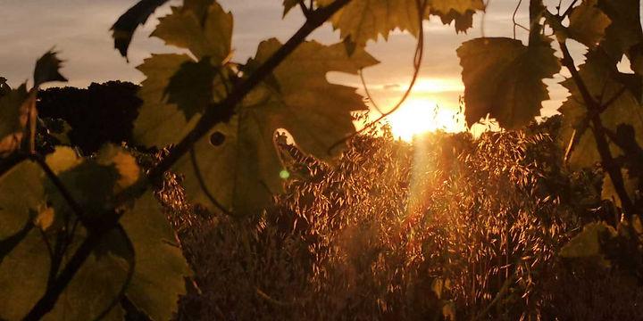 vignes-soleil-couchant.jpg