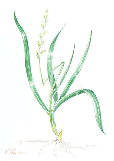 Ryegrass N.4