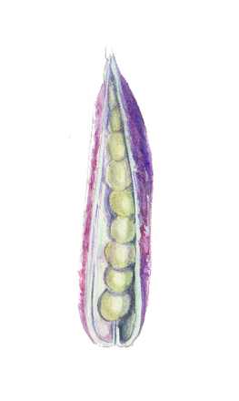 Pea purple pod