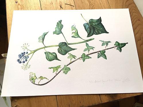 Ivy - Archivial pigment prints