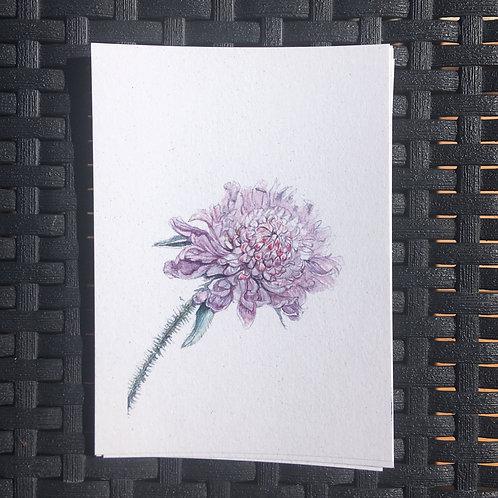 Knautia arvensis - print