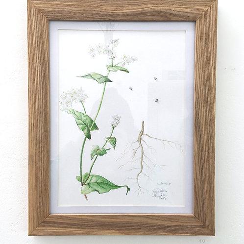 ORIGINAL ARTWORK - Summer green manure - Buckwheat