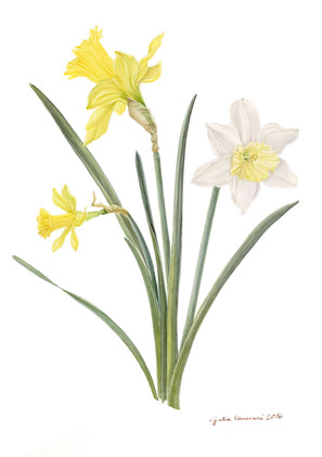 Narcissus ssp - SOLD