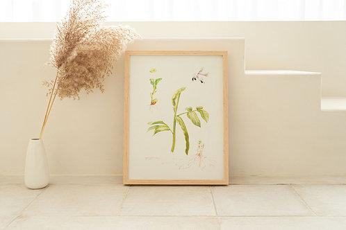 ORIGINAL ARTWORK - Broadbeans (Vicia faba)