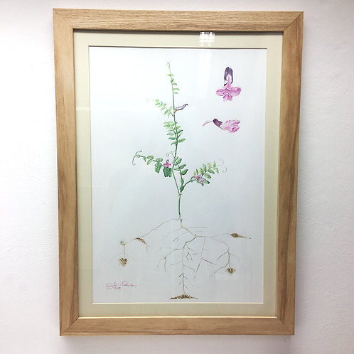ORIGINAL ARTWORK - Vicia sativa