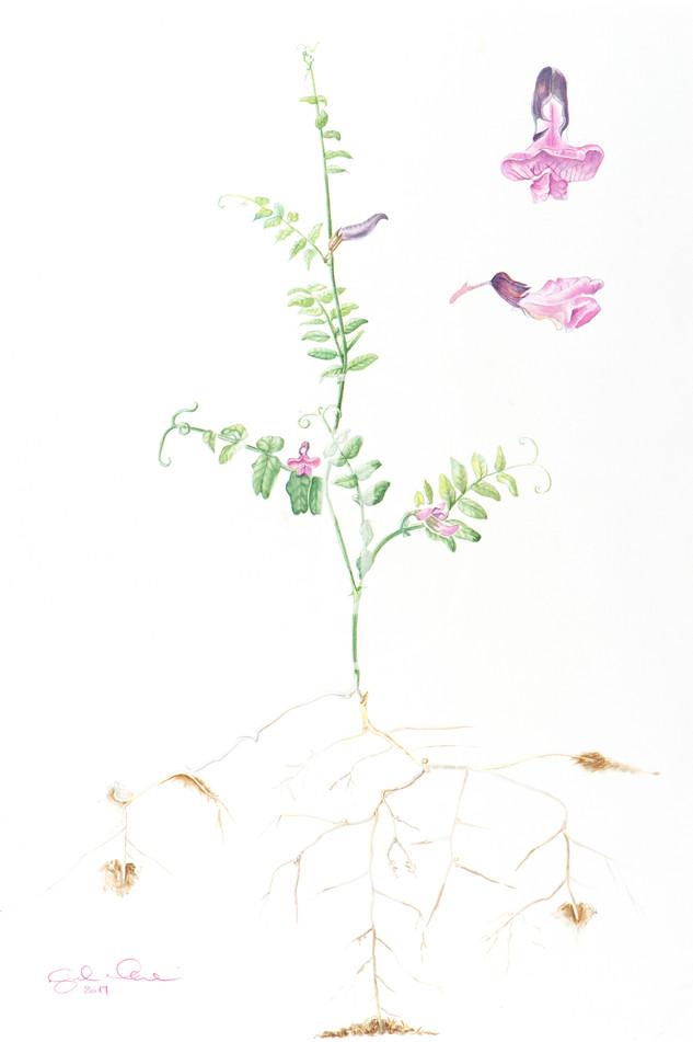 Vicia Sativa N.5