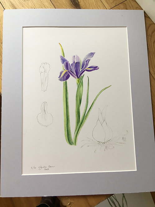 Iris bulbosa - Archivial pigment print (mounted)